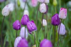 tulipany purpurowych Fotografia Royalty Free