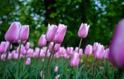 tulipany purpurowych Zdjęcia Stock