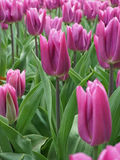 tulipany purpurowych Obraz Stock