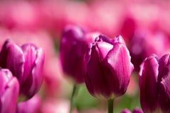 tulipany purpurowych Kwiatu ogród z różnymi rozmaitość tulipany lub łóżko Obraz Royalty Free