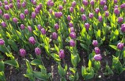 tulipany purpurowych Tło Obraz Royalty Free