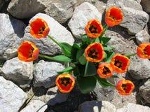 tulipany pustyni Zdjęcia Royalty Free