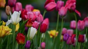 Tulipany różni kolory i ogródy w flowerbed zbiory