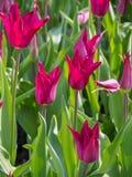 Tulipany Różowią lelui Tulipa kwiaty zdjęcia stock