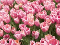 tulipany różowe Fotografia Royalty Free