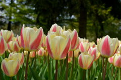 tulipany różowe Fotografia Stock