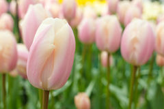 tulipany różowe Zdjęcie Royalty Free