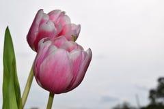 tulipany różowe Obraz Stock