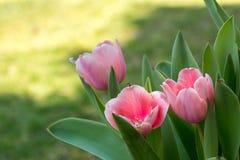 tulipany różowe zdjęcia stock