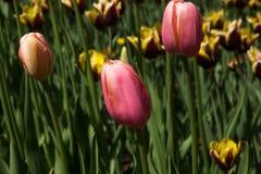tulipany różowe kolor tulipany polowe Zdjęcia Royalty Free