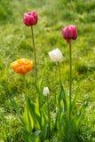Tulipany r w zielonej trawie z kroplami ranek rosa Obraz Royalty Free