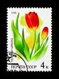 Tulipany, rośliny rosjanin (Tulipa suaveolens, Tulipa schrenkii,) Zdjęcie Royalty Free