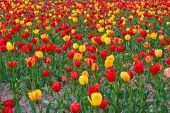 tulipany tak Zdjęcie Royalty Free