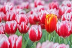 Tulipany uprawiają ogródek miękką ostrość zdjęcia stock
