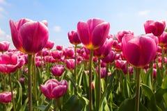 Tulipany w świetle słonecznym Zdjęcia Stock