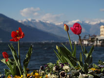 Tulipany w Bellagio Fotografia Royalty Free
