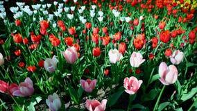 Tulipany w central park kultura i odpoczynek St Petersburg zdjęcie wideo