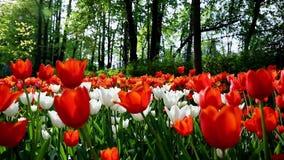 Tulipany w central park kultura i odpoczynek St Petersburg zbiory wideo