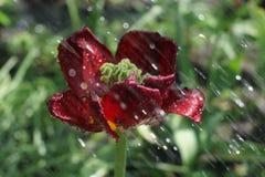 Tulipany w deszczu Zdjęcia Royalty Free