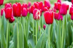 Tulipany w holandiach Zdjęcia Stock