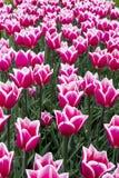 Tulipany w holandiach Zdjęcia Royalty Free