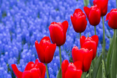 Tulipany w holandiach Obraz Stock