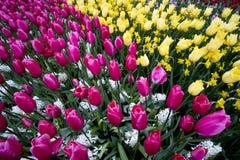 Tulipany w holandiach Zdjęcie Stock