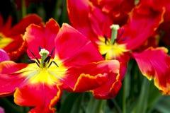 Tulipany w holandiach Fotografia Royalty Free