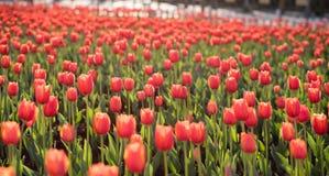 Tulipany w kunmingï ¼ ŒChina zdjęcie royalty free