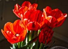 Tulipany w kwiacie Fotografia Royalty Free