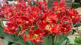 Tulipany w kwiacie w ogródach Podpalanym Singapur Obraz Royalty Free