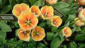 Tulipany w kwiacie w ogródach Podpalanym Singapur Zdjęcia Stock