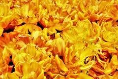 Tulipany w kwiacie w ogródach Podpalanym Singapur Zdjęcia Royalty Free