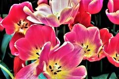 Tulipany w kwiacie w ogródach Podpalanym Singapur Obrazy Royalty Free
