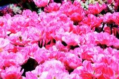 Tulipany w kwiacie w ogródach Podpalanym Singapur Fotografia Stock