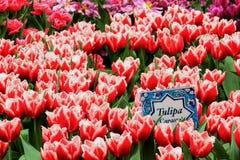 Tulipany w kwiacie w ogródach Podpalanym Singapur Zdjęcie Royalty Free