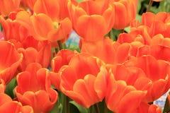 Tulipany w kwiacie w ogródach Podpalanym Singapur Zdjęcie Stock
