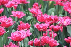 Tulipany w kwiacie w ogródach Podpalanym Singapur Obrazy Stock