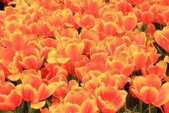 Tulipany w kwiacie w ogródach Podpalanym Singapur Obraz Stock