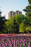 Tulipany w mieście zdjęcia stock