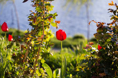 Tulipany w parku Fotografia Royalty Free
