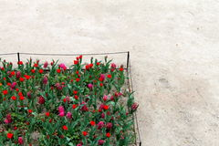 Tulipany w Paryż Zdjęcie Royalty Free