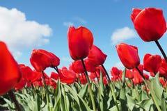 Tulipany w polu Fotografia Stock