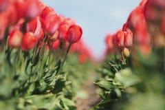 Tulipany w polu Zdjęcie Stock