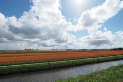 Tulipany w polu Fotografia Royalty Free