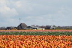 Tulipany w polu Zdjęcia Royalty Free