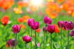 Tulipany w polu Obrazy Royalty Free