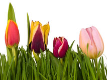 Tulipany w trawie odizolowywającej na białym tle Zdjęcie Royalty Free
