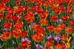 Tulipany w wiośnie Zdjęcia Royalty Free