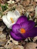 tulipany wielo- kolorowych Zdjęcia Stock